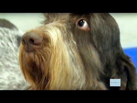 Спиноне итальяно – собака с человеческим лицом