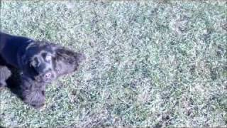 Nikita - English Cocker Spaniel