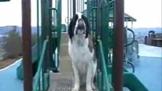 Amazing Reno Dog Training With St Bernard, Dog Gone Amazing, Inc.