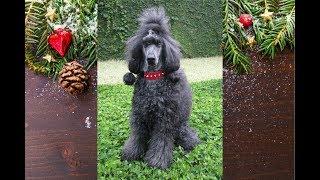 Standard Poodle does 40+ Tricks!