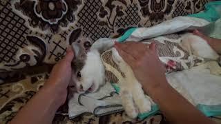 Операция сделана! Кошка отходит от наркоза
