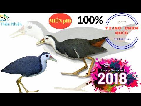 [Tải Tiếng Chim Quốc Mp3 Miễn Phí ] - Tiếng Quốc Di Cư (ko Ghẹ) Bẫy Đêm 08/2018