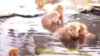長野県にある地獄谷野猿公苑です 世界で唯一、猿が温泉に入る場所として...