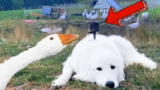 I Spied on my Guard Dog with a GoPro (Livestock Guardian Dog and GoPro Max)