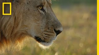 Young Lions Learn Precision Hunting | Savage Kingdom