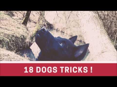 18 schipperke tricks !