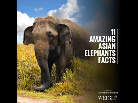 11 Amazing Asian Elephants Facts