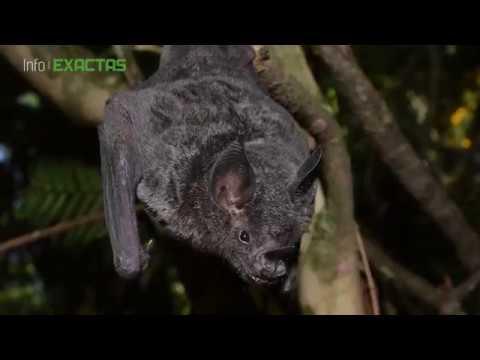 Murciélagos, pieza clave para preservar los bosques