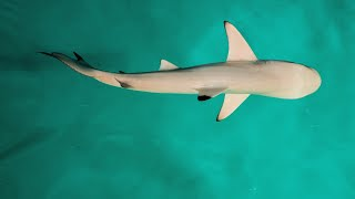 Sharks Use Earths Magnetic Fields like a GPS