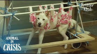 Vet Said Dog Paralyzed By A Car Accident Couldn't live That Long But..(Part 2) | Animal in Crisis