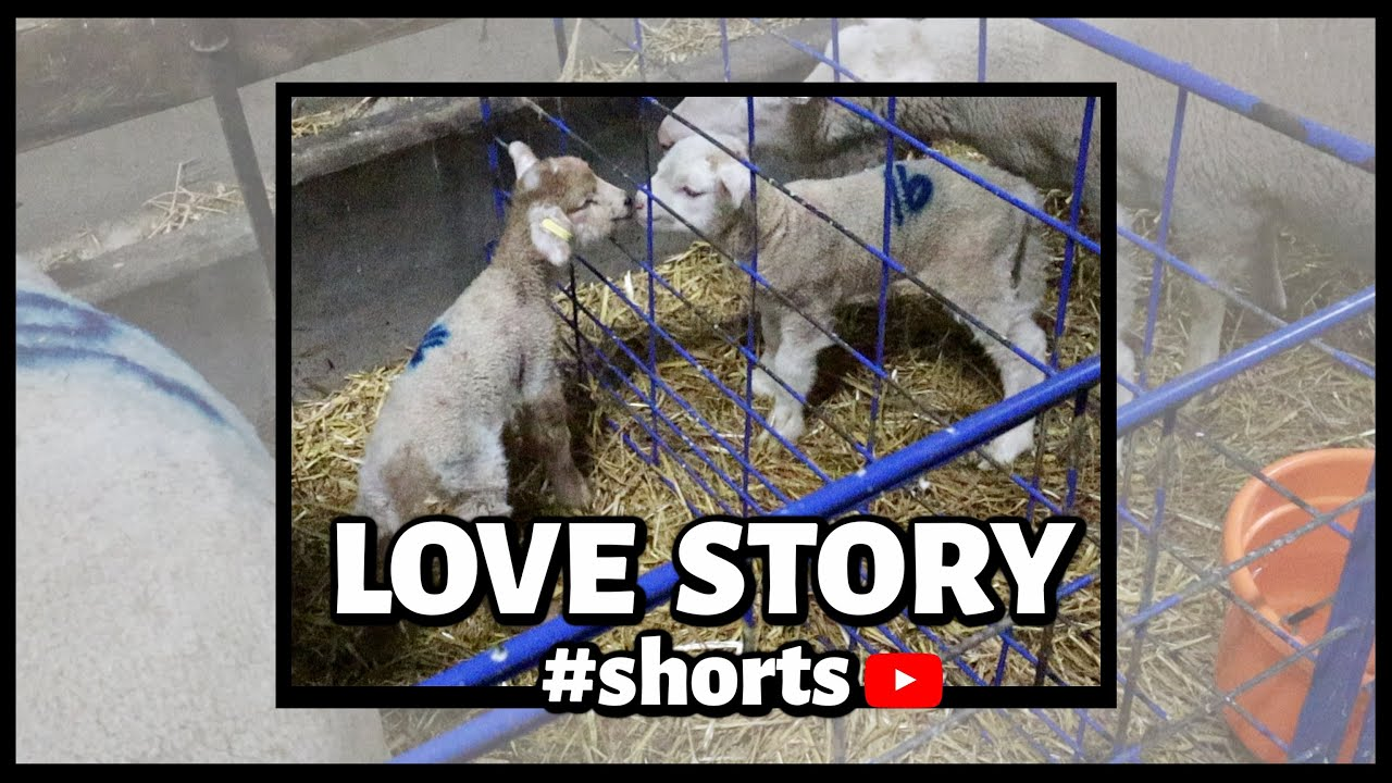 #shorts   Sheepishly Me SHORTS   Romeo & Juliet💕