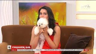 У гостях Сніданку - власниця собак породи бішон фрізе та її улюбленці