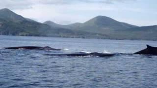 Alaska Whale Watching - Uyak Bay, Kodiak Island, Alaska