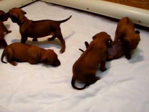 Ridgeback Puppies  DEC 10 2018