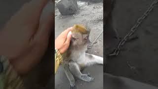 Video Lucu Monyet Sedih (galau)