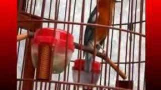 Kicau Mania | Suara Burung | Anis Merah Gacor Merdu Banget