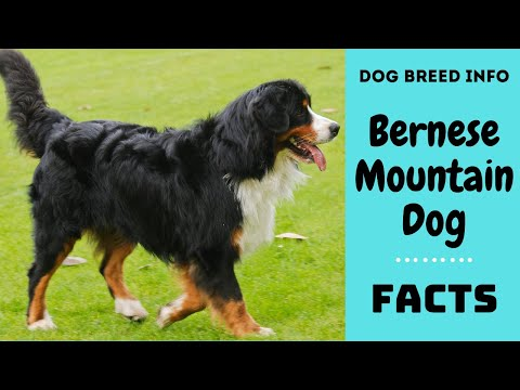 Bernese Mountain dog breed. All breed characteristics and facts about Bernese Mountain dogs