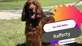 1yo Irish Setter (Rafferty) | Before & After | 2 Week Board and Train