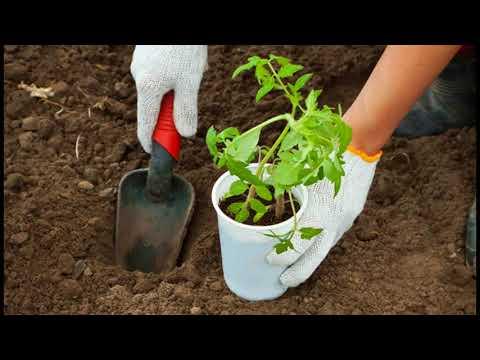 Как правильно сажать помидоры в открытый грунт рассадой