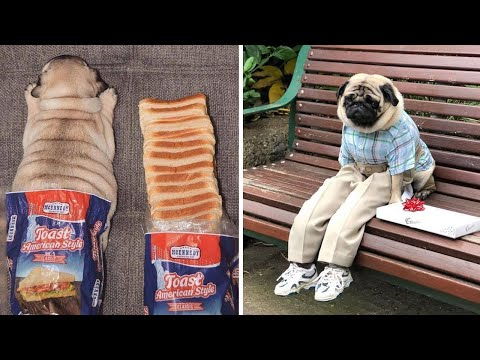 Funniest and Cutest Pug Dog Videos Compilation 2020 #3