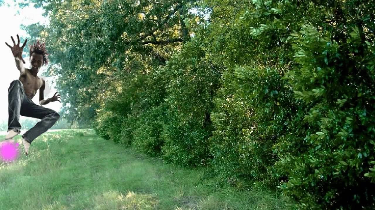 Carolina Cherry Laurel Tree Flowering Evergreen Privacy