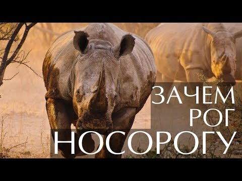Вопрос: Почему у носорогов растет рог на лбу?