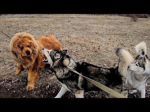 Не для слабонервных! ТИБЕТСКИЙ МАСТИФ против МАЛАМУТа  / Tibetan Mastiff Vs Alaskan Malamute
