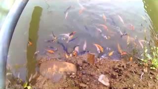 Bibit Ikan Koi Usia 5 Bulan