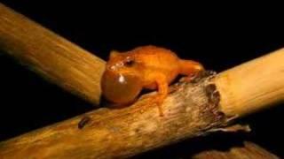 Spring peeper (Pseudacris crucifer) calling