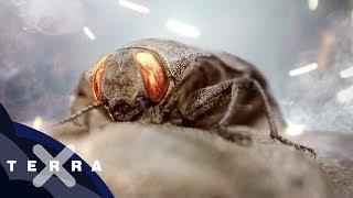 Feuersuchende Käfer | Schräge Tiere