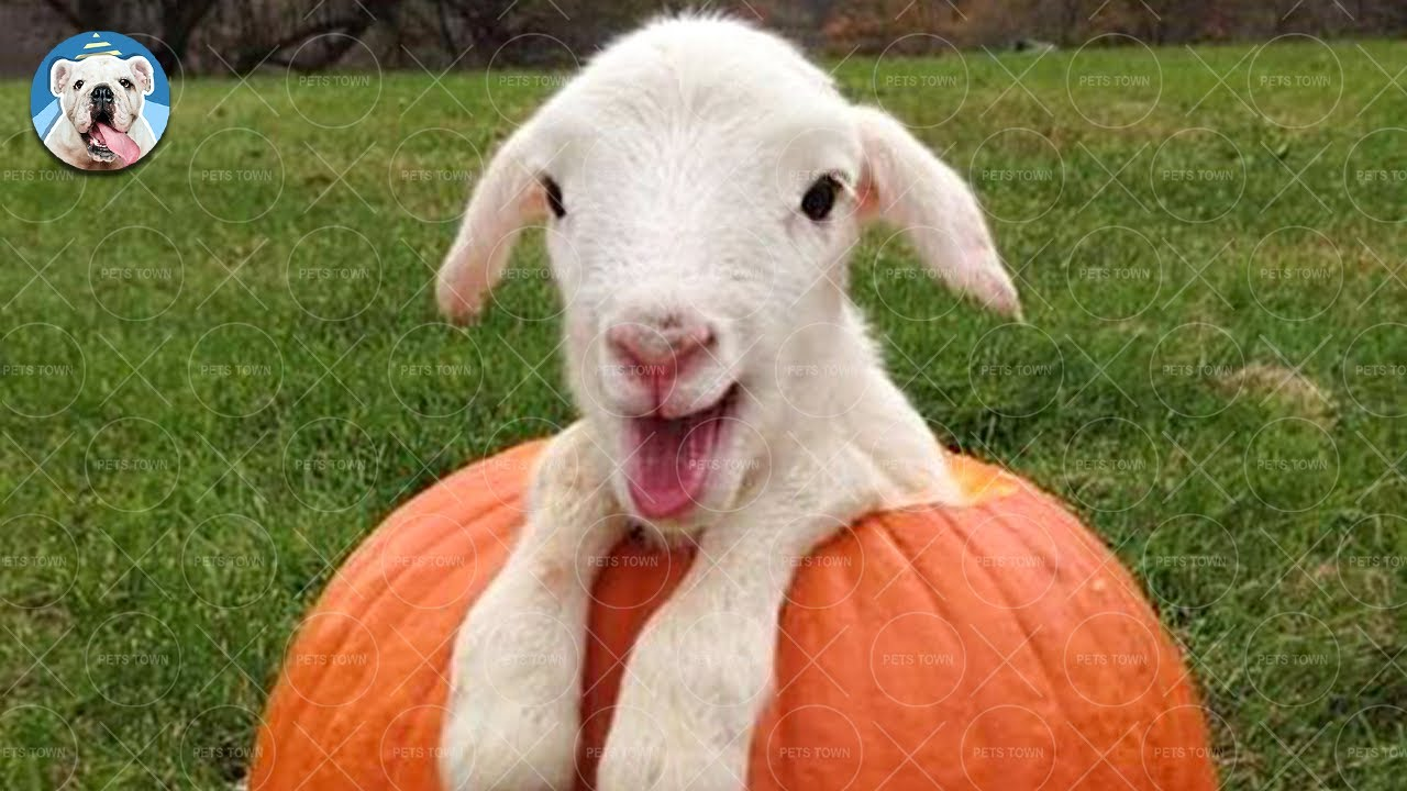 Download GOAT Is Beyond Funny And Cute - Funny Goat Videos