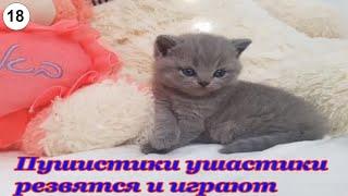 Пушистики ушастики резвятся и играют. #Кошки #Коты #Котята #Прикольные #Веселые #Красивые #Играют