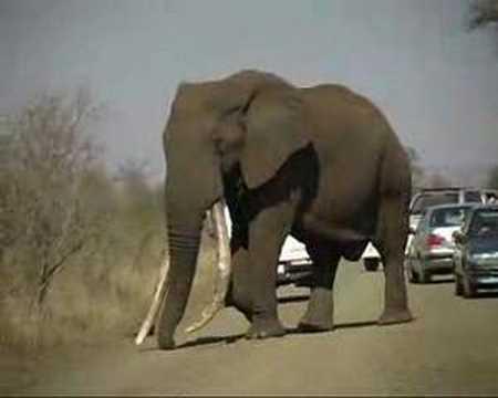 """""""DUKE"""", Krugerpark's biggest Elephant"""