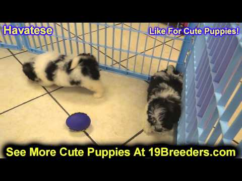 Havatese, Puppies, For, Sale, In, Allegheny, Pennsylvania, PA, Bucks, Chester, County, Berks, Delawa