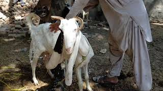 murrah goat meeting