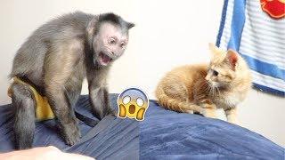 Monkey Meets a Baby Kitten & Shares Milk!