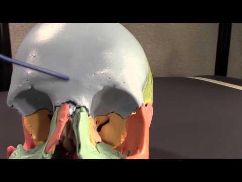 Human Cranial Osteology: Part II.  Frontal Bone Osteology