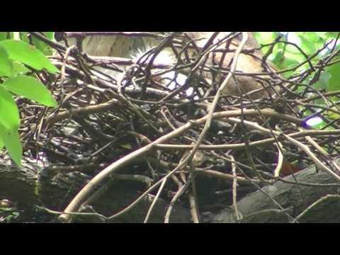 2017北中有巢事-黑冠麻鷺校園觀察記錄