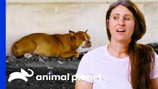 Dog With Heart Failure Found Under a Bridge   Pit Bulls & Parolees