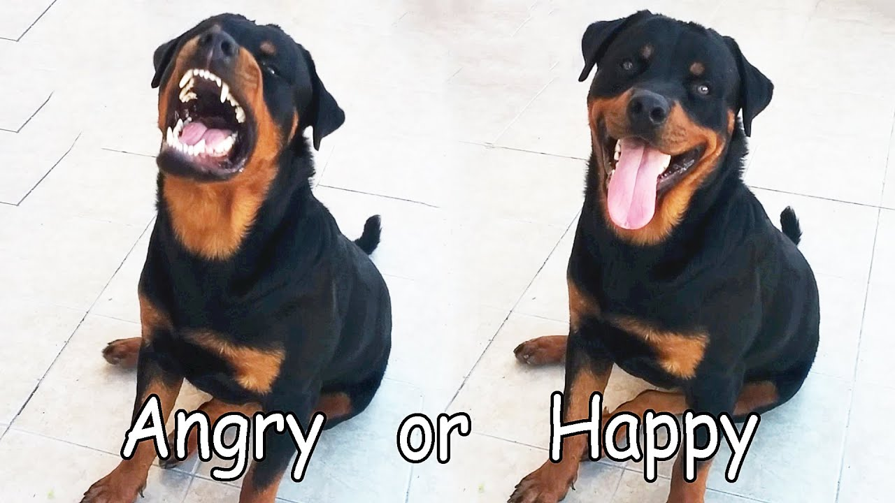 Rottweiler Angry Or Happy Youtube