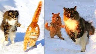 Winter Siberian farm Cats , Koshlandia, ЗИМА И Сибирские деревенские Кошки