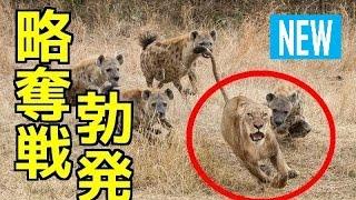 【衝撃映像】①ライオンVSハイエナ!捕食した獲物の略奪バトル!②ハイエ...