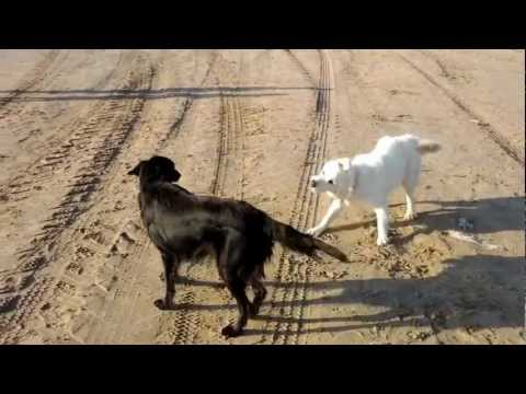 Flat Coated Retriever playing with Golden Retriever