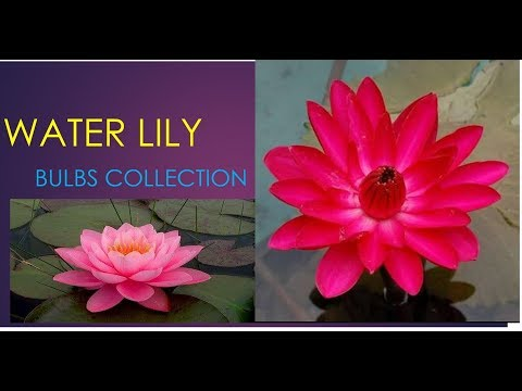 Collecting Water Lily Bulbs || Essentials Of Life || 21 November 2017