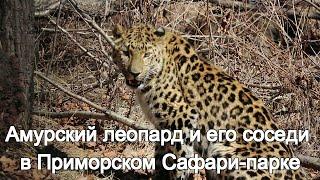 Амурский леопард и его соседи в Приморском Сафари парке