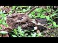 Nyctidromus Albicollis   Common Pauraque