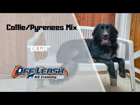 collie-pyrenees-mix/dog-training