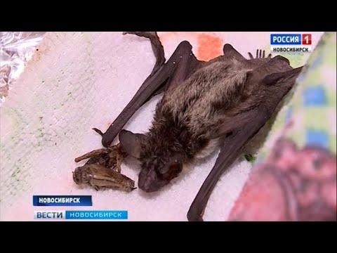 Летучие мыши - в опасности: новосибирские волонтеры спасают ночных хищников