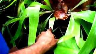 Como fazer uma muda de chifre de veado