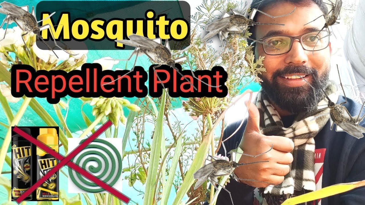 Mosquito Repellent Indoor Plants Best Smelling Plants For